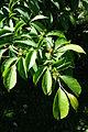 Stewartia rostrata - Arnold Arboretum - DSC06744.JPG