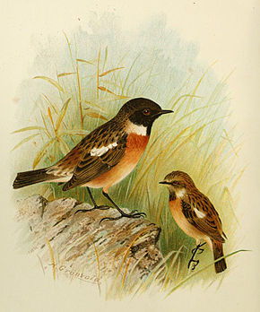 Description de l'image Stonechat Grönvold.jpg.