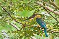 Stork-billed Kingfisher (Pelargopsis capensis).jpg