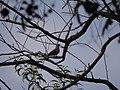 Streptopelia chinensis (4262486091).jpg