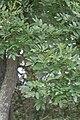 Styphnolobium japonicum 3.JPG