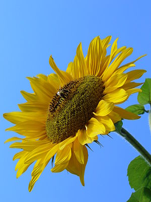 Sunflower (Helianthus L).