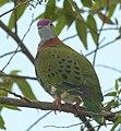 Superb fruit-dove at Tomohon (3) (cropped).JPG