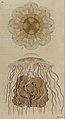 Svensk zoologi vol II 1806 045.jpg
