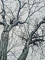 Svln4821 ordubad qoz agaci ag qara black white.jpg