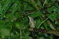 Sword-billed Hummingbird (Ensifera ensifera) 2015-06-16 (4) (40284211422).jpg