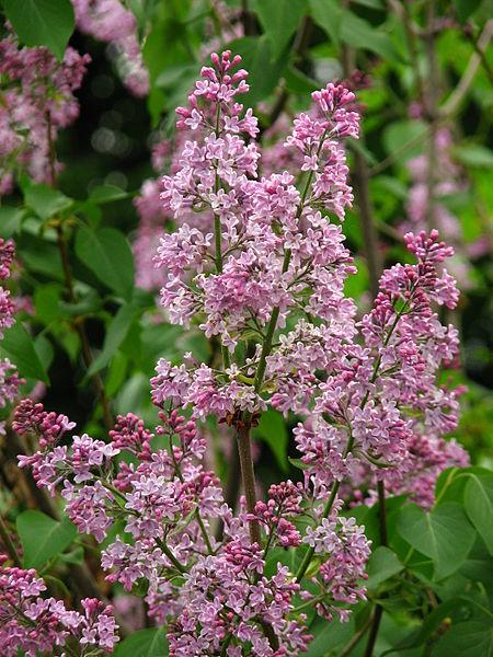File:Syringa vulgaris (inflorescence) 01.jpg