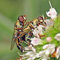 Syritta pipiens hoverflies playing leapfrog.jpg