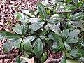 Syzygium arnottianum-2-chemungi-kerala-India.jpg