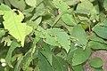Syzygium samarangense 18zz.jpg