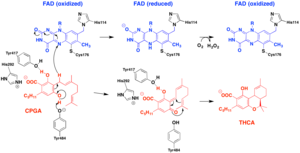 Tetrahydrocannabinolic acid synthase - Reaction mechanism of THCA synthase. Modified from Shoyama et al. J. Mol. Bio. 2012.