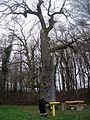 Tafelbaum2.jpg
