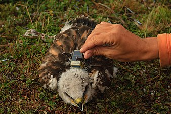 Tagging the rough-legged buzzards' nestling.jpg