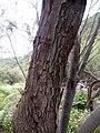 Tamarix africana kz1.JPG