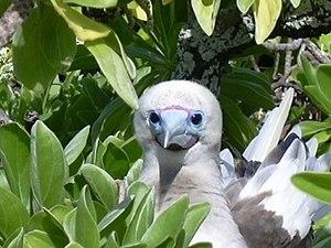 Bokak Atoll - Red-footed booby on Sibylla Island