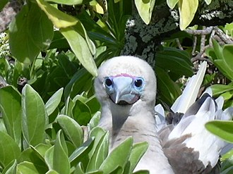 Bokak Atoll - Red-footed booby on Sibylla Island