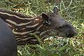 Tapirus terrestris01.jpg