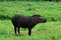 Tapirus terrestris 2.jpg