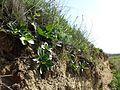Taraxacum serotinum sl62.jpg