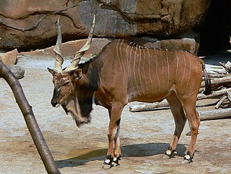 Giant eland - T. d. gigas at the Cincinnati Zoo