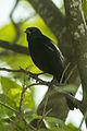 Tawny-shouldered Blackbird - Cuba S4E0227 (23521416519).jpg