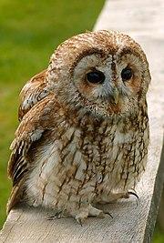 A Tawny Owl, Strix aluco.