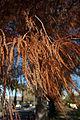 Taxodium distichum (Swamp Cypress) in Peter St Wagga Wagga (1).jpg