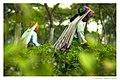 Tea Garden in Panchagarh .jpg