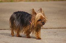Yorkshire Terrier - Wikipedia