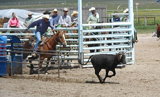 Team roping - Steer is released from chute with a slight head start, horse and rider emerge from box when steer is a predetermined distance out
