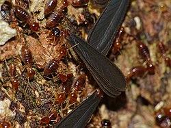 Termites (Nasutitermes sp.) with alates (15496048740).jpg