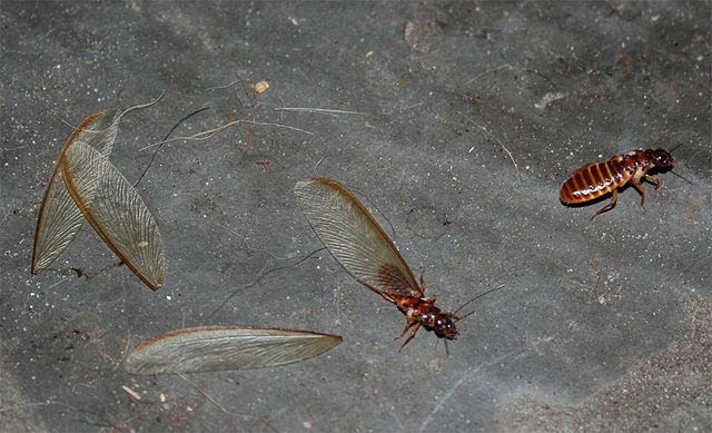 Termites With Wings