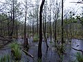 Teufelsbruch swamp with blooming Utricularia vulgaris and rain 02.jpg