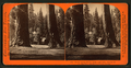 The Sentinels, 315 feet high, near view - Section of the Big Tree and House over the Stump, by Lawrence & Houseworth.png