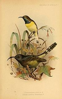 Giant sunbird species of bird