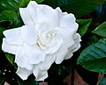 The front of my home has a sweet smell of Gardenia (303023267).jpg