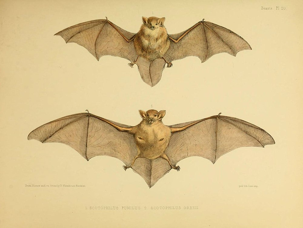 The average litter size of a Eastern forest bat is 1