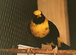 Thorntree aviaries mino richardoni 1987mod.jpg