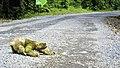 Three-toed sloth crossing road in Costa Rica.jpg