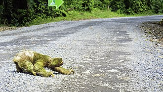Three-toed sloth crossing a road in Alajuela, Costa Rica Three-toed sloth crossing road in Costa Rica.jpg