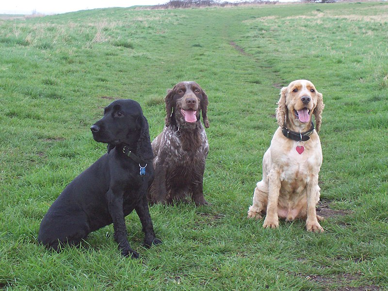 From Wikipedia: Three_Cocker_Spaniels.jpg