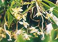 Thrixspermum saruwatarii 01.jpg