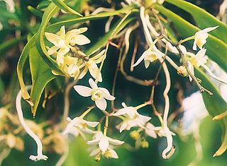 <i>Thrixspermum saruwatarii</i>