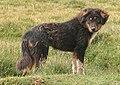 Tibetan Mastiff (2271558961).jpg