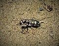 Tiger Beetle. Cicindela hybrida albanica (43909794215).jpg
