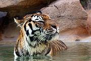 Tygrysy lubią zażywać kąpieli