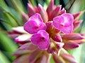 Tillandsia geminiflora 2.jpg