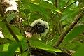 Tití (Saguinus oedipus) - Flickr - Alejandro Bayer (2).jpg