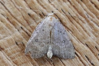 <i>Tolpiodes</i> Genus of moths