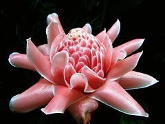 Torch Ginger (macro).jpg